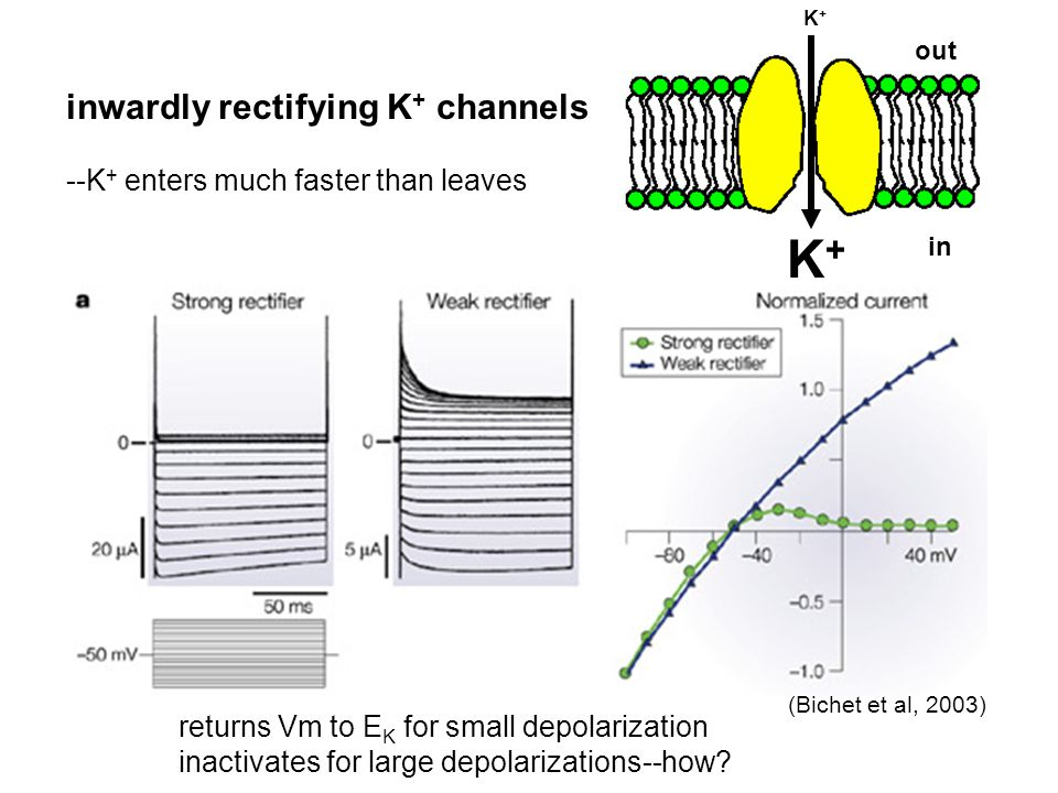 K+ inwardly rectifying K+ channels --K+ enters much faster than leaves
