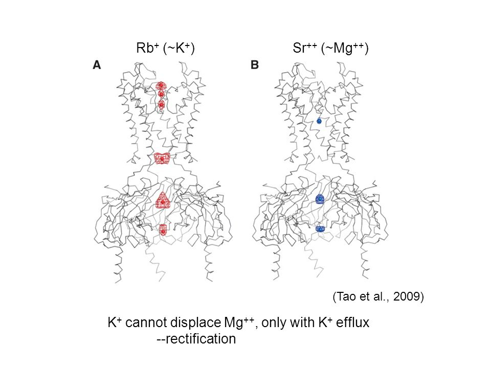 K+ cannot displace Mg++, only with K+ efflux --rectification