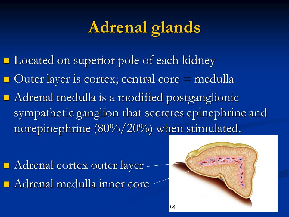 Adrenal glands Located on superior pole of each kidney