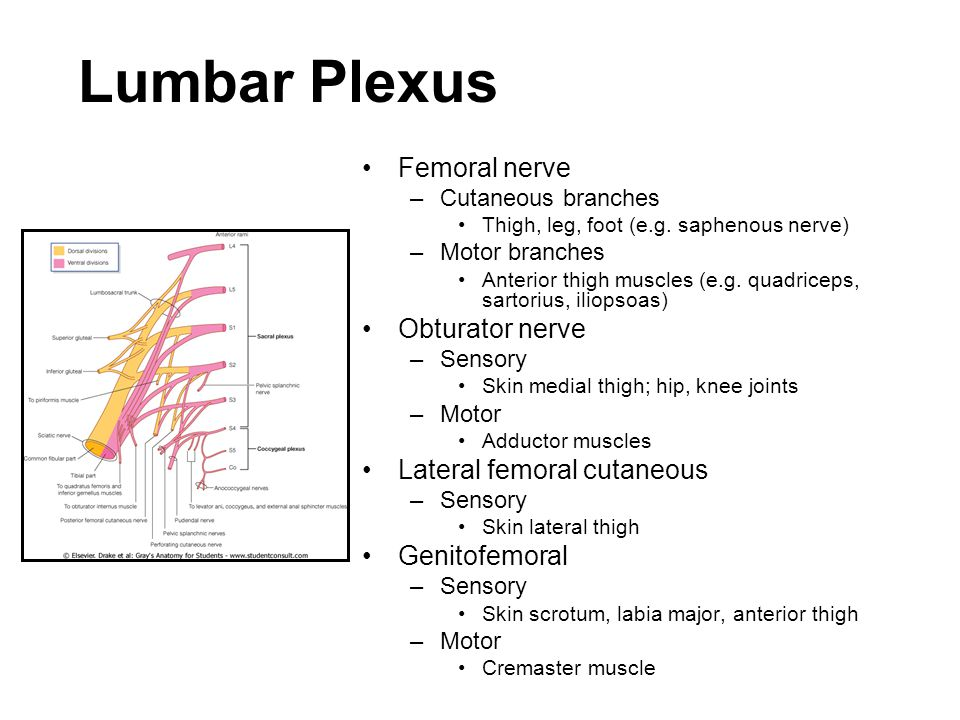 femoral nerve motor and sensory – lickclick, Muscles