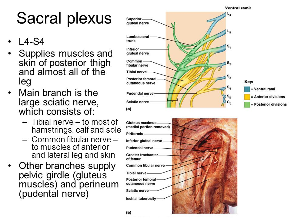 Sacral plexus L4-S4. Supplies muscles and skin of posterior thigh and almost all of the leg.