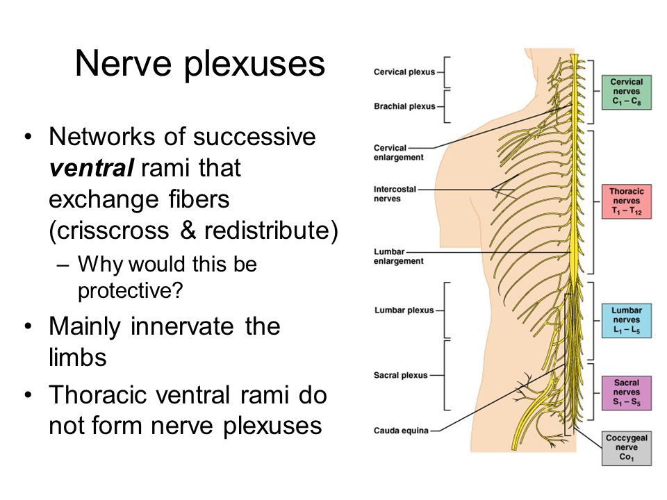 Nerve plexuses Networks of successive ventral rami that exchange fibers (crisscross & redistribute)