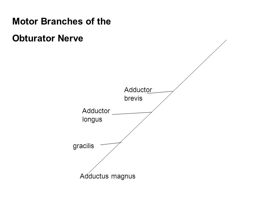 Motor Branches of the Obturator Nerve Adductor brevis Adductor longus