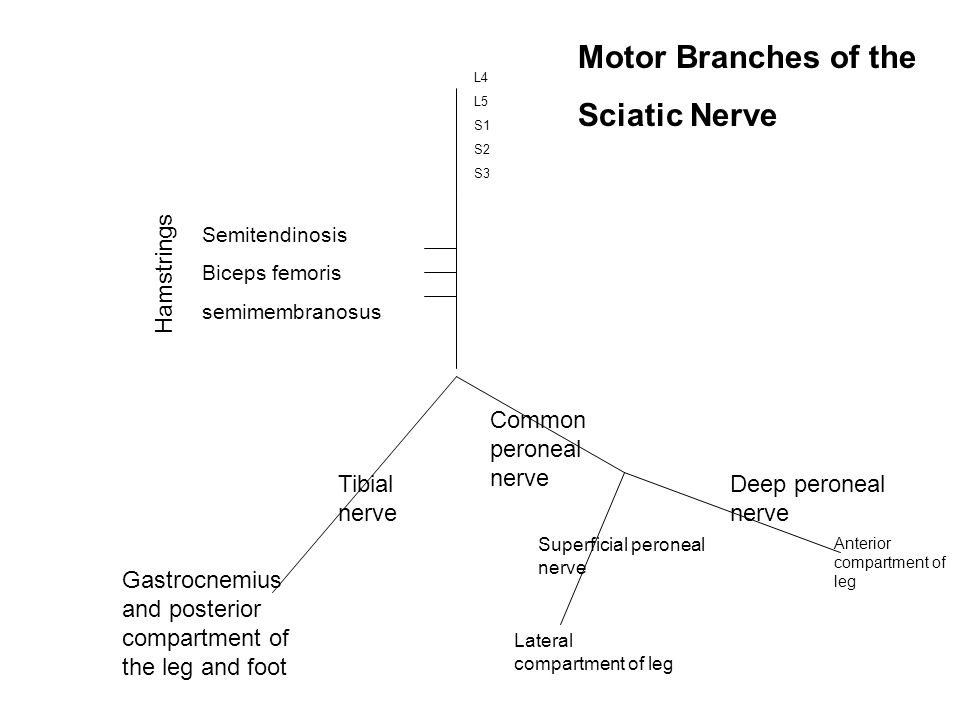 Motor Branches of the Sciatic Nerve Hamstrings Common peroneal nerve
