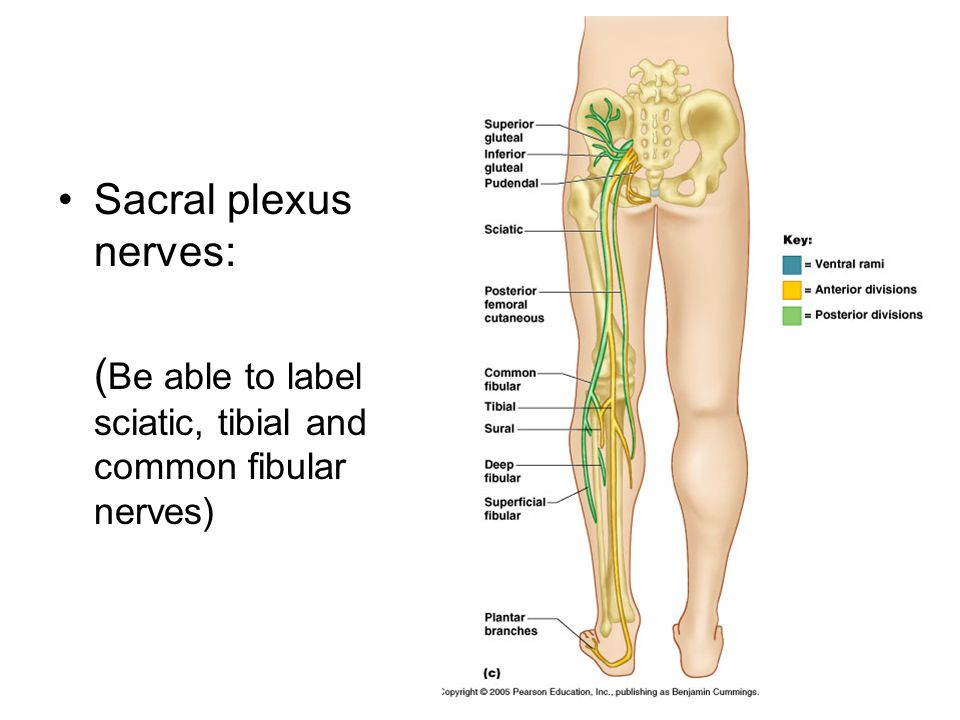 Sacral plexus nerves: (Be able to label sciatic, tibial and common fibular nerves)