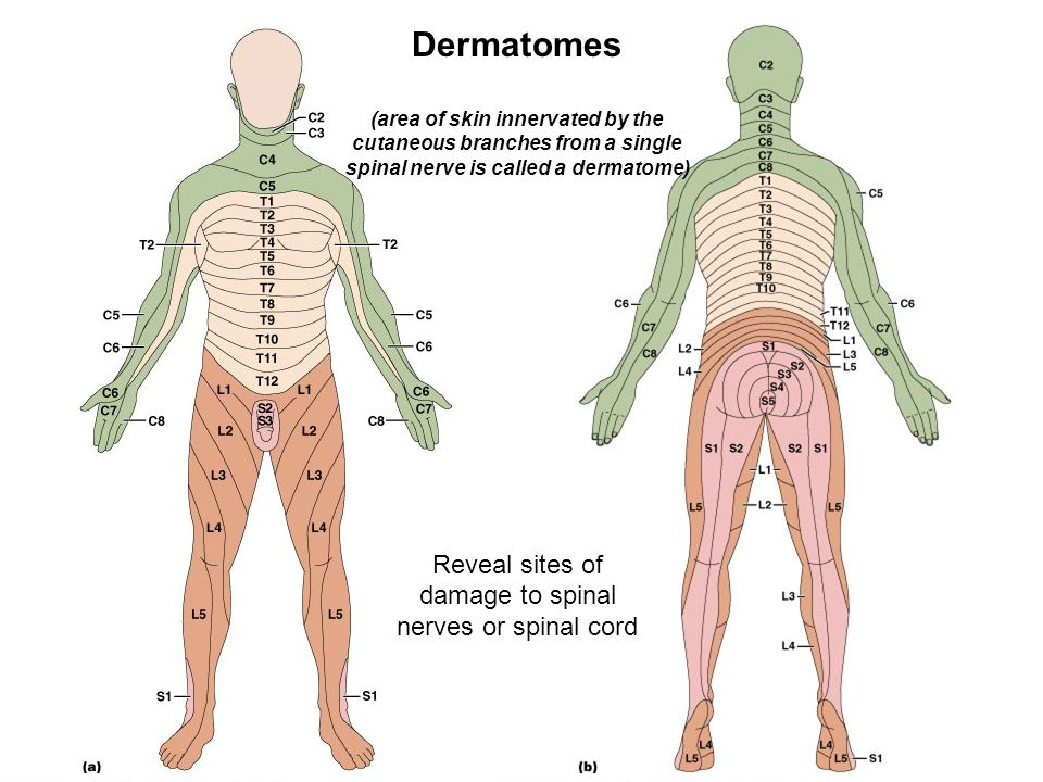 Dermatomes (innervation of skin)