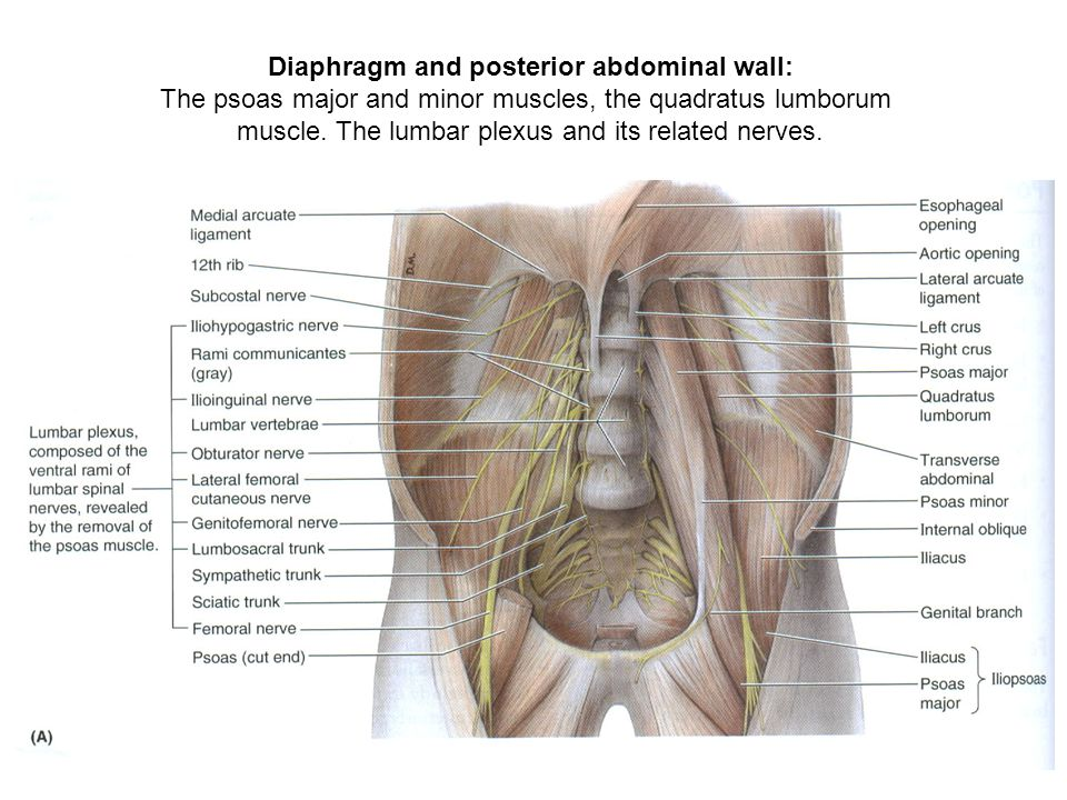 Diaphragm and posterior abdominal wall: