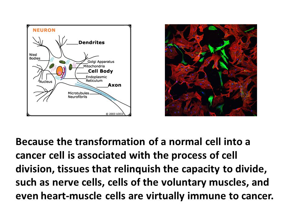 Because the transformation of a normal cell into a cancer cell is associated with the process of cell division, tissues that relinquish the capacity to divide, such as nerve cells, cells of the voluntary muscles, and even heart-muscle cells are virtually immune to cancer.
