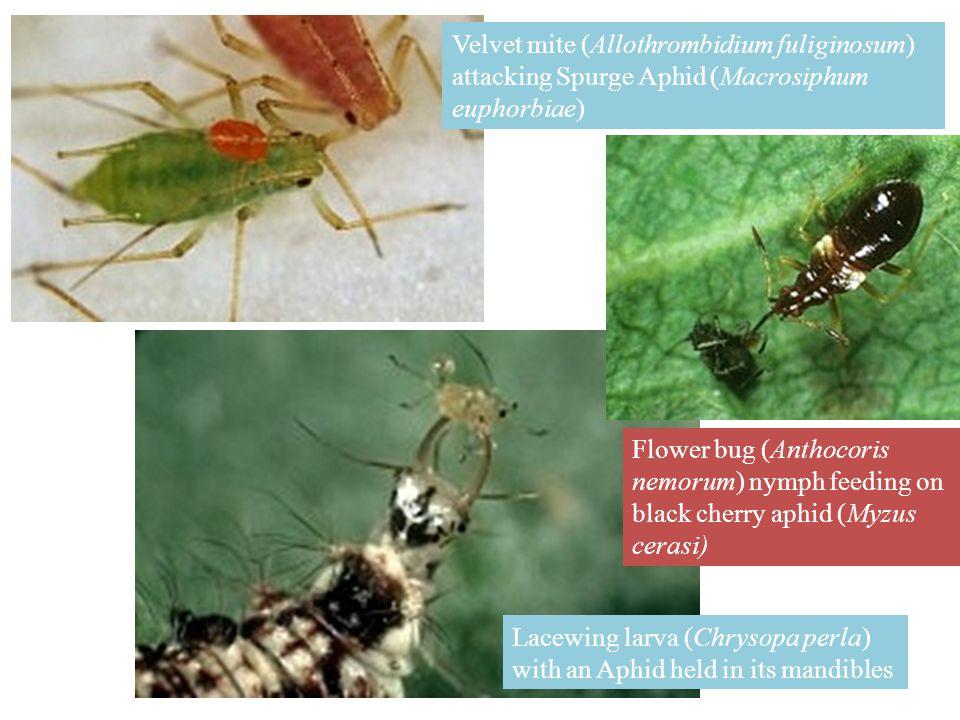 Velvet mite (Allothrombidium fuliginosum) attacking Spurge Aphid (Macrosiphum euphorbiae)