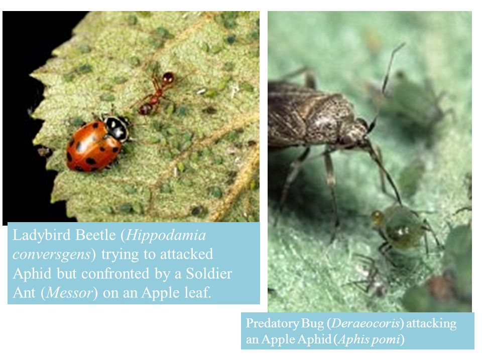 Ladybird Beetle (Hippodamia conversgens) trying to attacked Aphid but confronted by a Soldier Ant (Messor) on an Apple leaf.
