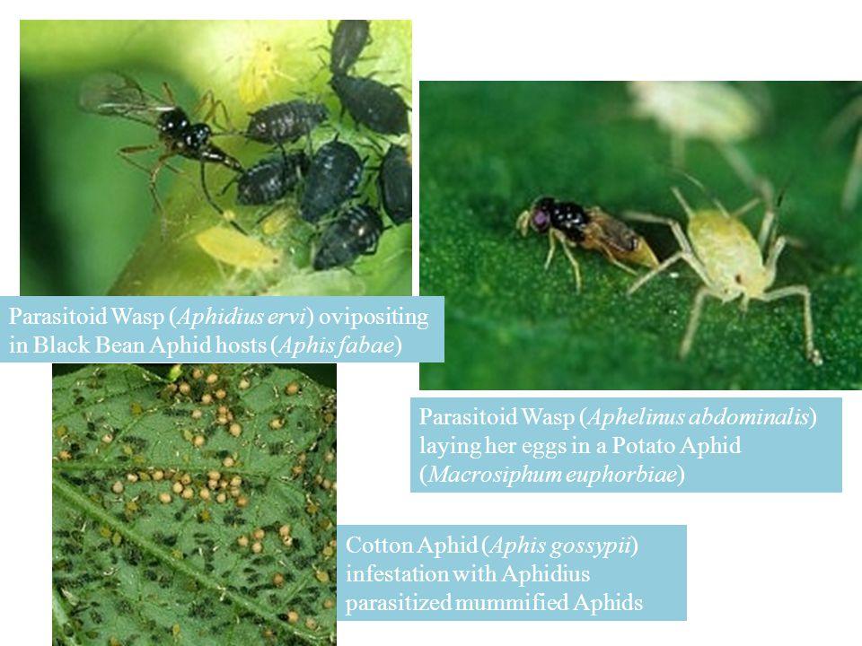 Parasitoid Wasp (Aphidius ervi) ovipositing in Black Bean Aphid hosts (Aphis fabae)