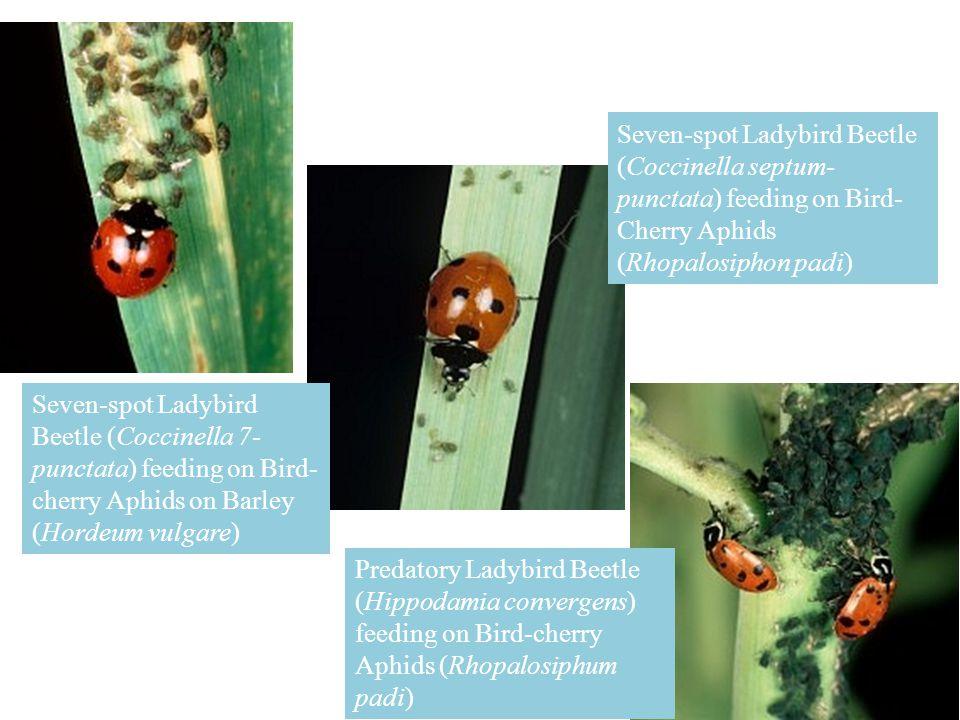 Seven-spot Ladybird Beetle (Coccinella septum-punctata) feeding on Bird-Cherry Aphids (Rhopalosiphon padi)
