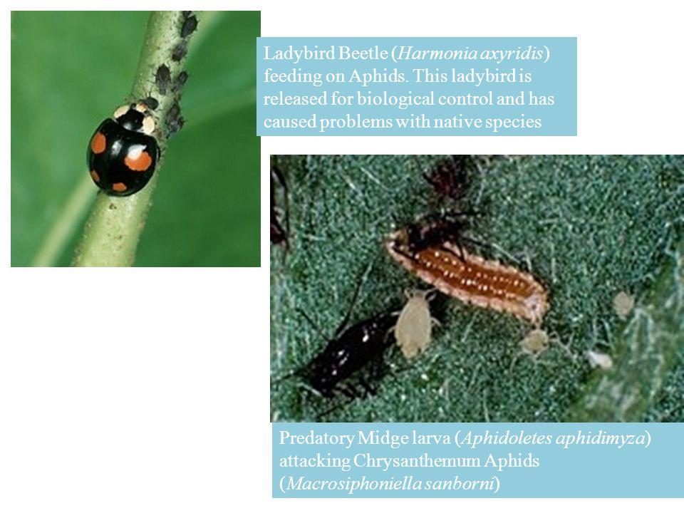 Ladybird Beetle (Harmonia axyridis) feeding on Aphids