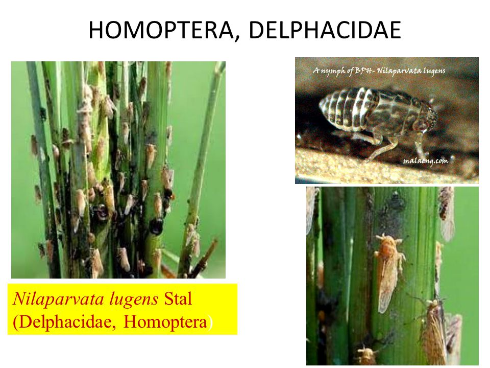 HOMOPTERA, DELPHACIDAE