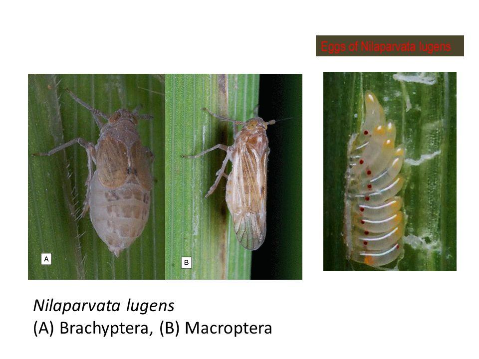 (A) Brachyptera, (B) Macroptera