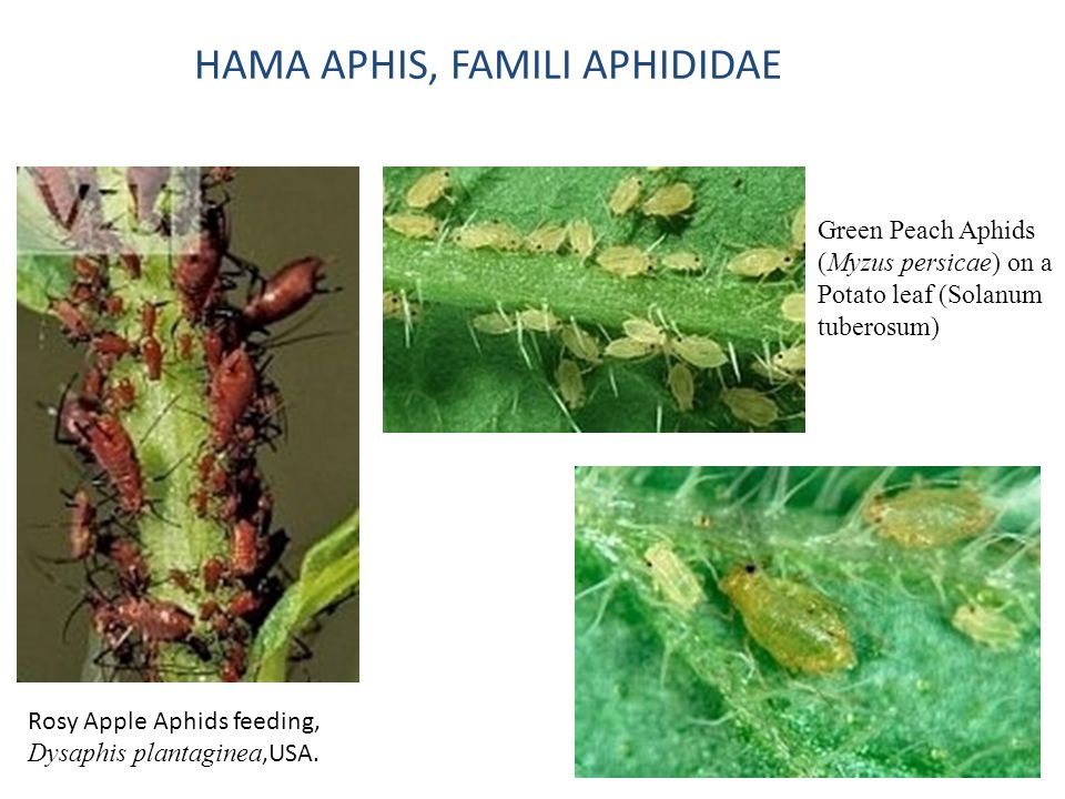 HAMA APHIS, FAMILI APHIDIDAE