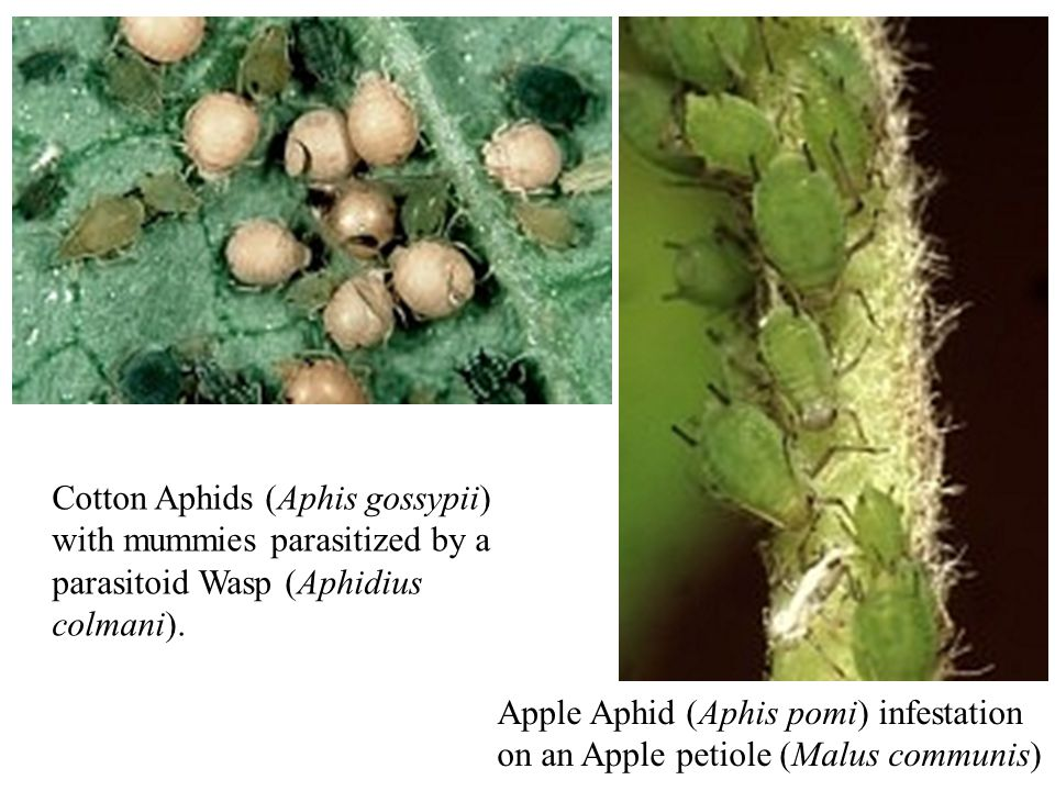 Cotton Aphids (Aphis gossypii) with mummies parasitized by a parasitoid Wasp (Aphidius colmani).