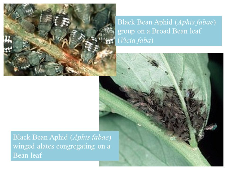 Black Bean Aphid (Aphis fabae) group on a Broad Bean leaf (Vicia faba)