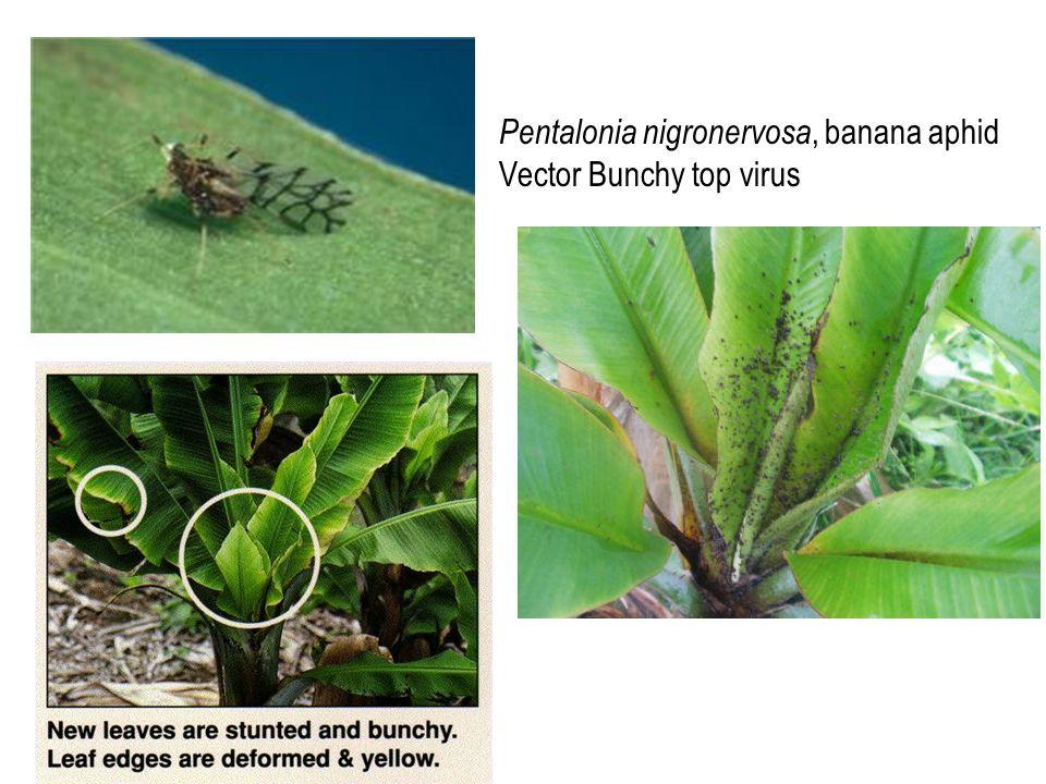 Pentalonia nigronervosa, banana aphid