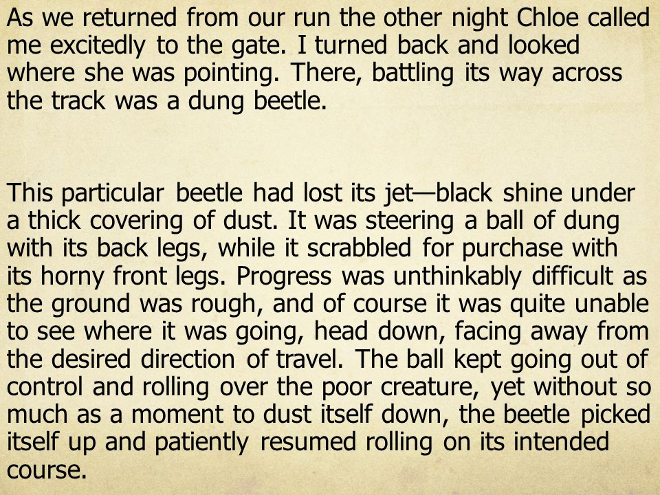 As we returned from our run the other night Chloe called me excitedly to the gate. I turned back and looked where she was pointing. There, battling its way across the track was a dung beetle.