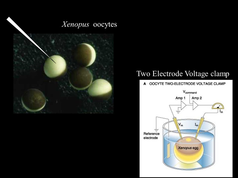 Xenopus oocytes Two Electrode Voltage clamp