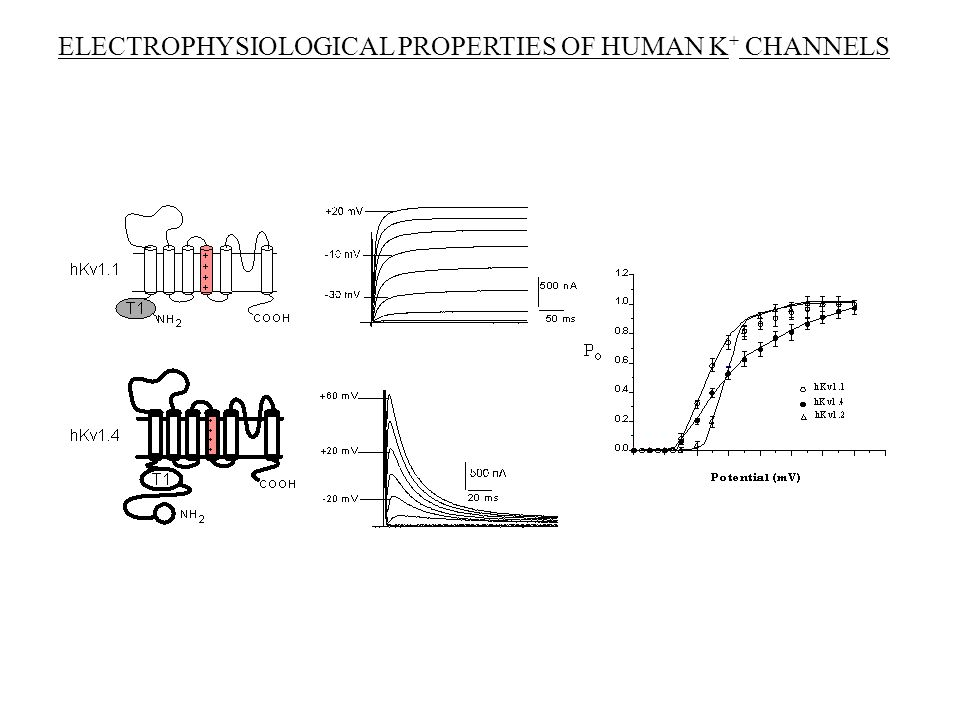 ELECTROPHYSIOLOGICAL PROPERTIES OF HUMAN K+ CHANNELS