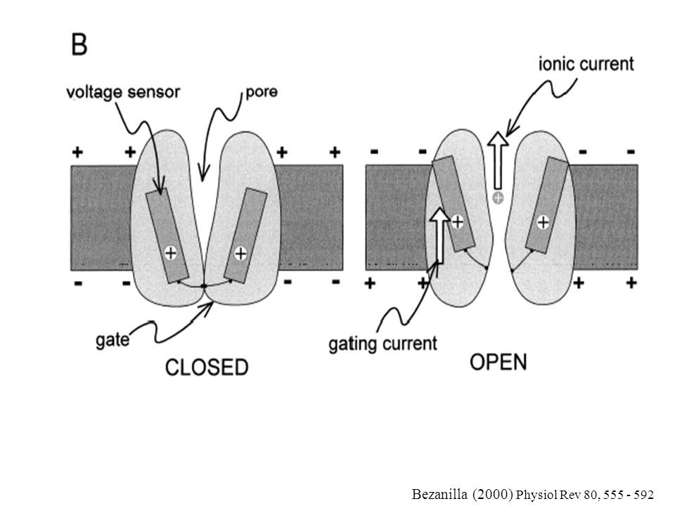 Bezanilla (2000) Physiol Rev 80, 555 - 592