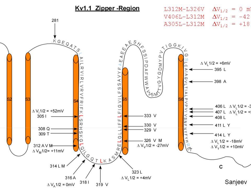 L312M-L326V DV1/2 = 0 mV V406L–L312M DV1/2 = -42 mV A305L-L312M DV1/2 = +18 mV Sanjeev