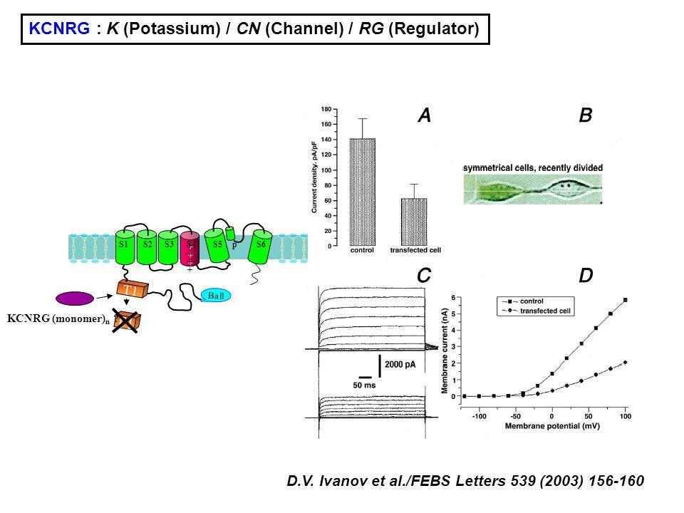 KCNRG : K (Potassium) / CN (Channel) / RG (Regulator)