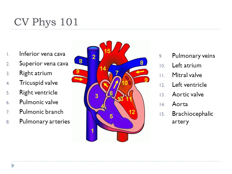 CV Phys 101 Inferior vena cava Pulmonary veins Superior vena cava