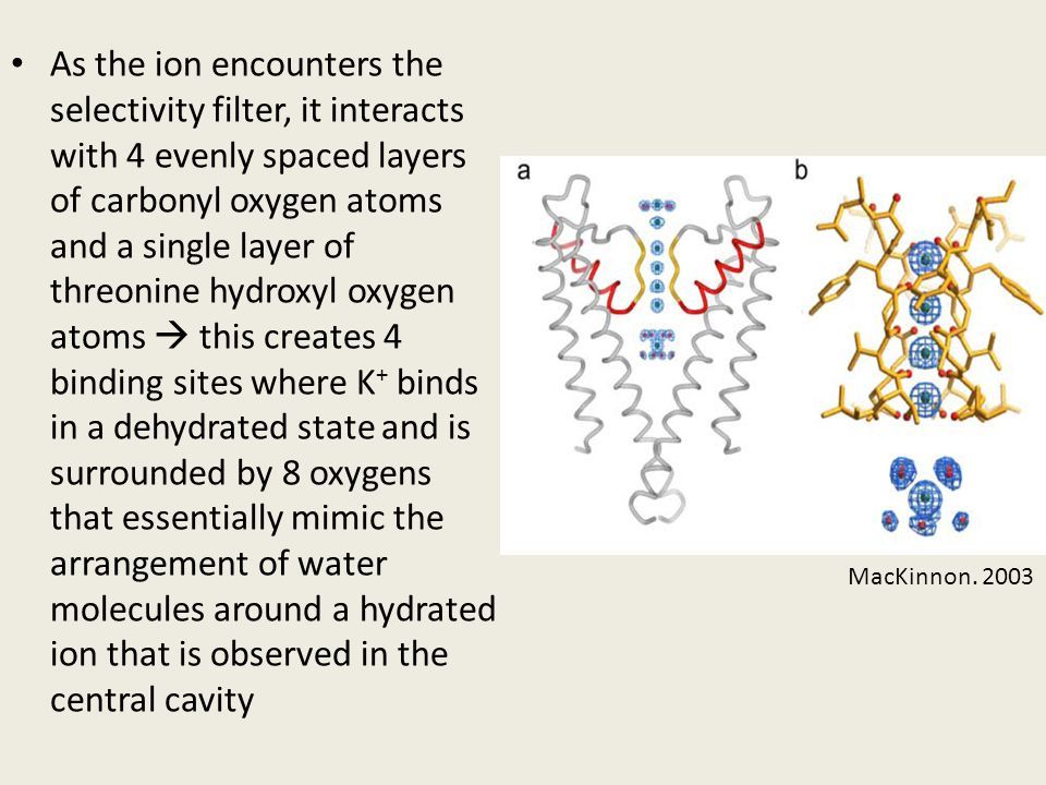 As the ion encounters the selectivity filter, it interacts with 4 evenly spaced layers of carbonyl oxygen atoms and a single layer of threonine hydroxyl oxygen atoms  this creates 4 binding sites where K+ binds in a dehydrated state and is surrounded by 8 oxygens that essentially mimic the arrangement of water molecules around a hydrated ion that is observed in the central cavity