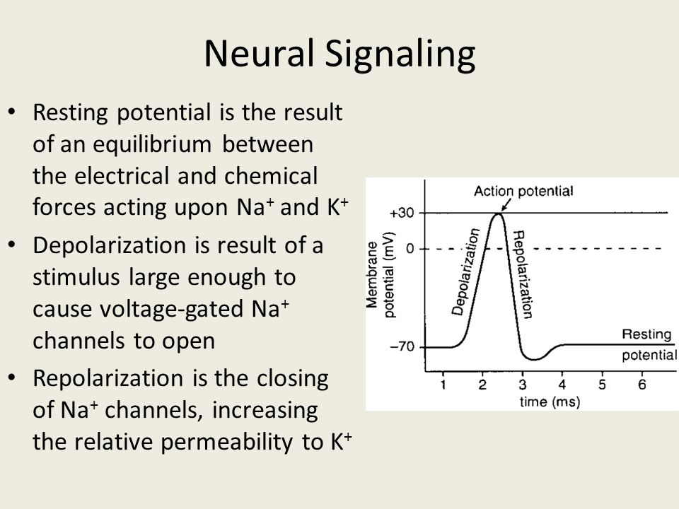 Neural Signaling Resting potential is the result of an equilibrium between the electrical and chemical forces acting upon Na+ and K+