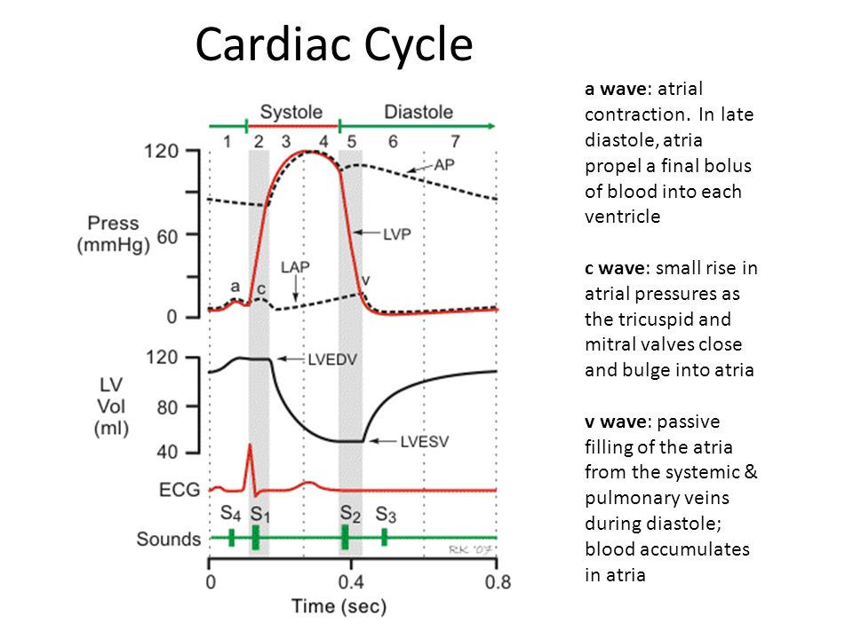 Cardiac Cycle a wave: atrial contraction. In late diastole, atria propel a final bolus of blood into each ventricle.