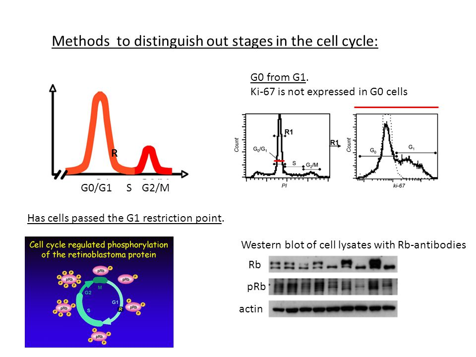 Methods to distinguish out stages in the cell cycle: