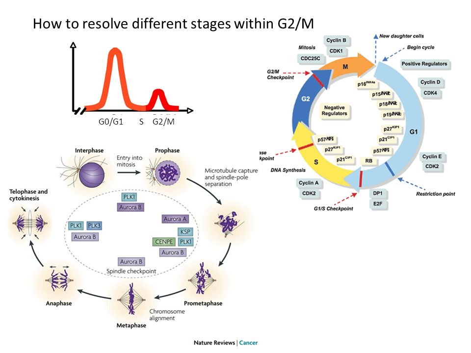How to resolve different stages within G2/M