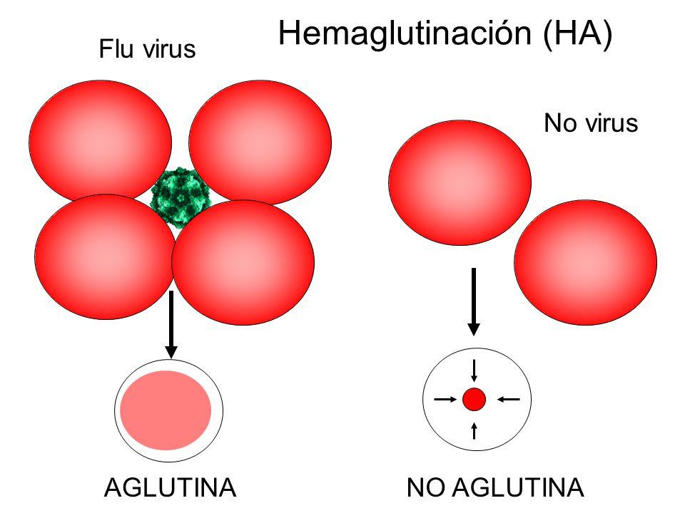 Hemaglutinación (HA) Flu virus No virus AGLUTINA NO AGLUTINA