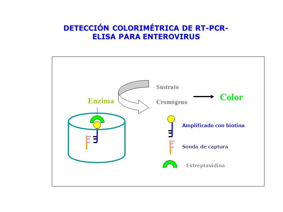 DETECCIÓN COLORIMÉTRICA DE RT-PCR-ELISA PARA ENTEROVIRUS