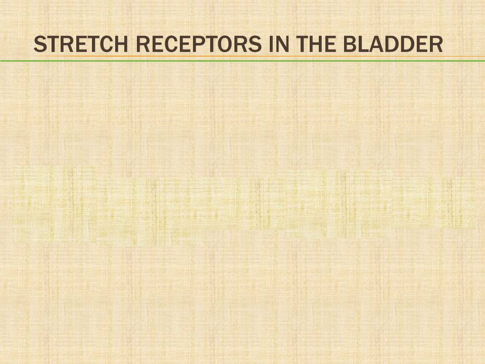 Stretch Receptors in the Bladder