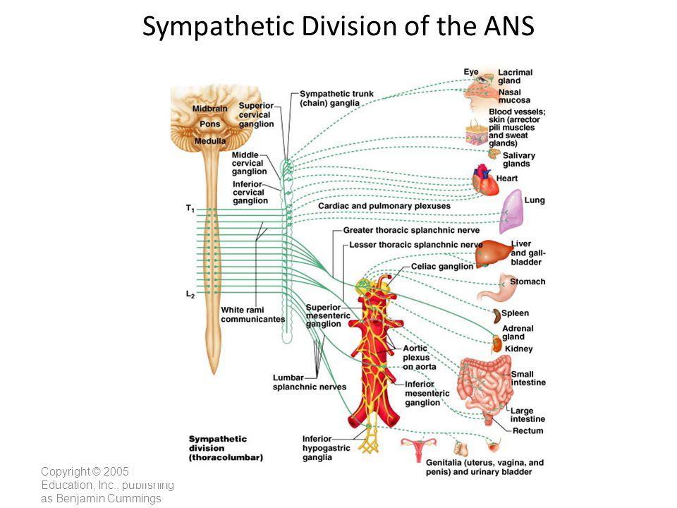 Sympathetic Division of the ANS