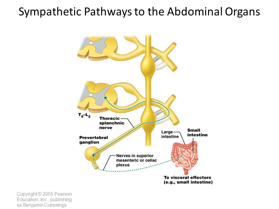 Sympathetic Pathways to the Abdominal Organs