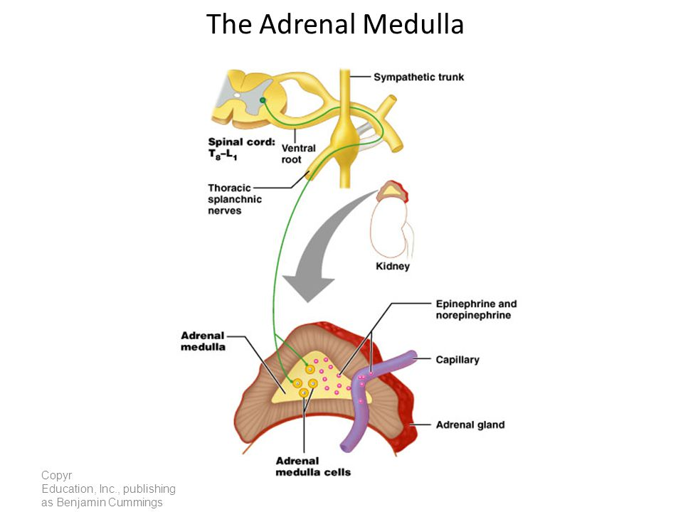 The Adrenal Medulla Copyright © 2005 Pearson Education, Inc., publishing as Benjamin Cummings