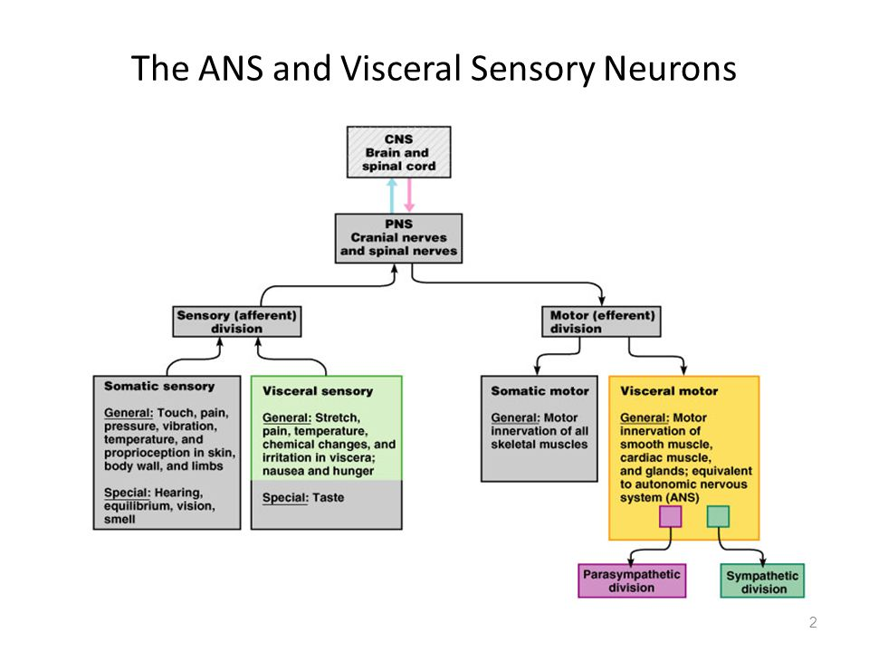 The ANS and Visceral Sensory Neurons