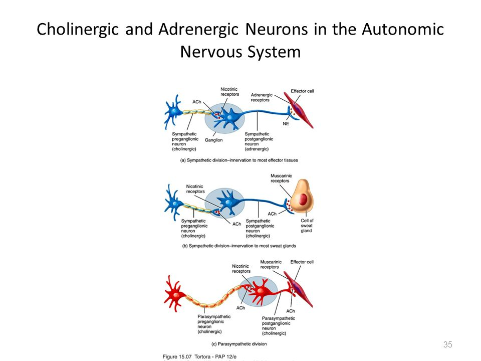 Cholinergic and Adrenergic Neurons in the Autonomic Nervous System