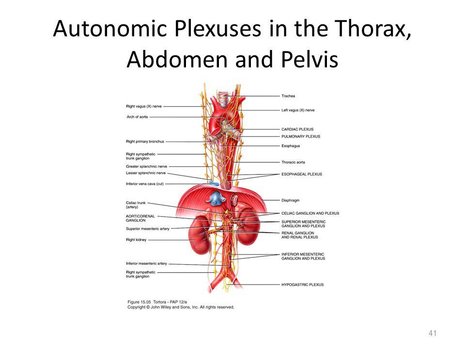 Autonomic Plexuses in the Thorax, Abdomen and Pelvis
