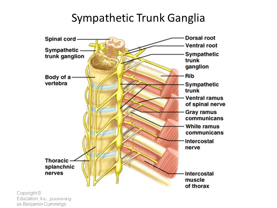 Sympathetic Trunk Ganglia