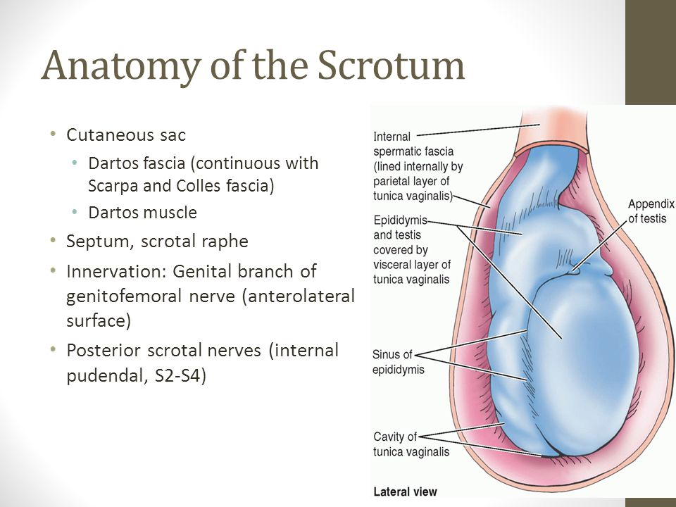 Anatomy of the Scrotum Cutaneous sac Septum, scrotal raphe