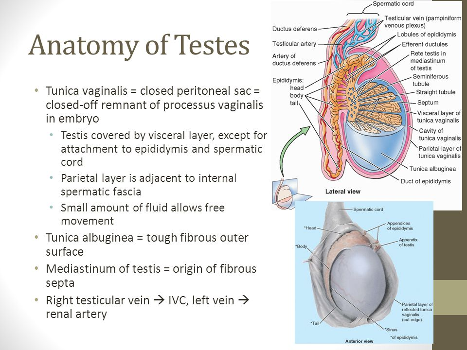 Anatomy of Testes Tunica vaginalis = closed peritoneal sac = closed-off remnant of processus vaginalis in embryo.