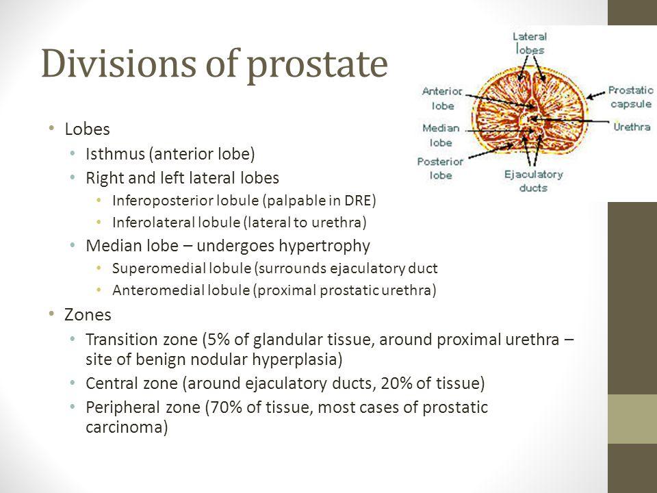 Divisions of prostate Lobes Zones Isthmus (anterior lobe)