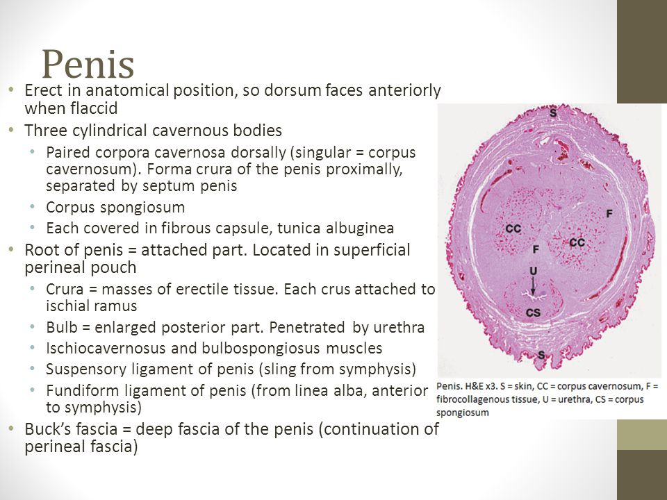 Penis Erect in anatomical position, so dorsum faces anteriorly when flaccid. Three cylindrical cavernous bodies.