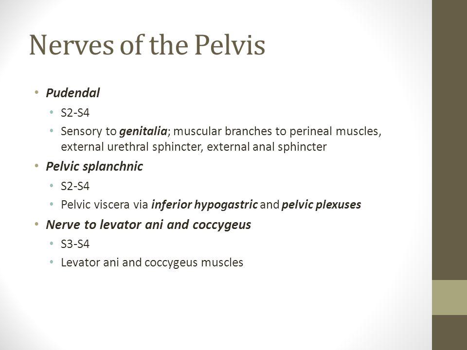 Nerves of the Pelvis Pudendal Pelvic splanchnic